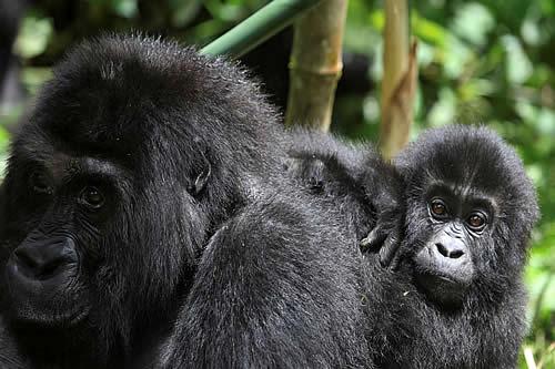 Una gorila comparte un tierno momento con una madre y su bebé en un zoológico de EE.UU.