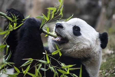 Bao Bao, la última protagonista de la 'diplomacia del panda'