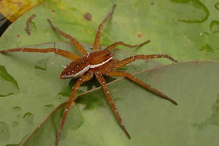 Las arañas ingieren hasta el doble de carne y peces que los humanos