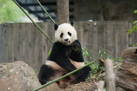 Bao Bao, la panda gigante estadounidense, se presenta al público chino