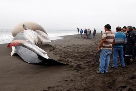 Ballena varada con gran protuberancia causa expectación en costas de Chile