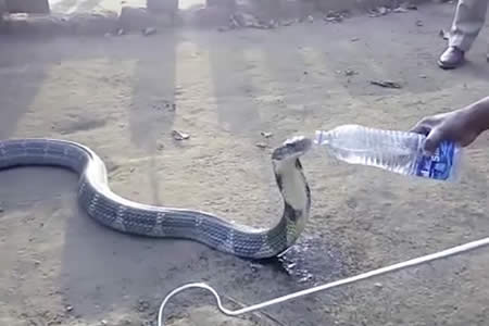 Una enorme cobra víctima de la sequía bebe mansamente de una botella de agua