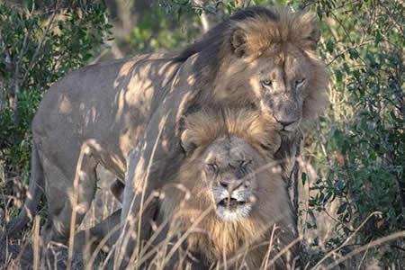 Escándalo en Kenia por pareja de 'leones gays'