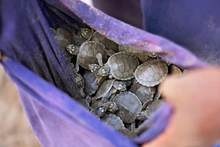 Rescatan en Brasil a 36 tortugas de la Amazonía que iban a ser vendidas
