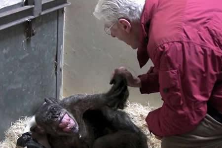 Un amor que resucita: Una chimpancé al borde de la muerte reconoce a su cuidador