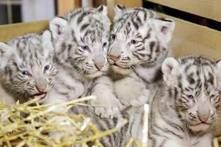 Un zoológico de Austria presenta cuatrillizos de tigres blancos