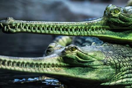 Bangladesh trata de salvar a sus últimos gaviales