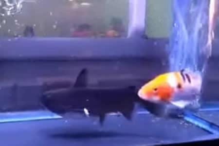 Convivencia peligrosa: Este pez no tardó en demostrar lo que era capaz de hacer con su compañero