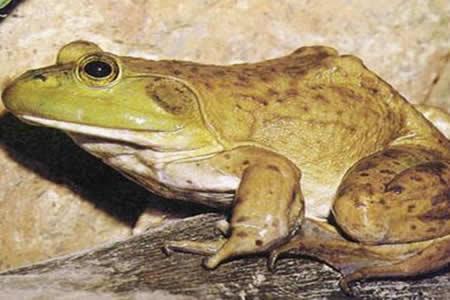 El calor puede contrarrestar efecto mortal de un hongo que ataca a las ranas