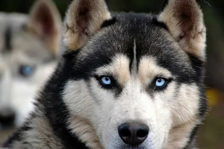 """Dinklage pide responsabilidad a fans de """"Game of Thrones"""" que compran huskies"""
