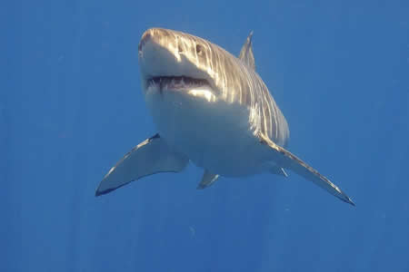 Biólogo mexicano llama a cuidar más que temer al tiburón blanco
