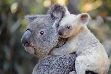 Nace una koala blanca, espécimen extremadamente raro, en un zoo de Australia