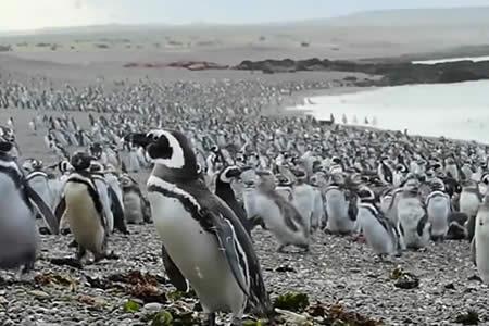 Más de un millón de pingüinos inundan las costas argentinas en un 'viaje de placer'