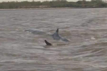 Una ballena queda varada en costa argentina del Río de la Plata