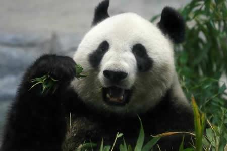 Nace por primera vez en 5 años un oso panda gigante en un zoológico de Tokio