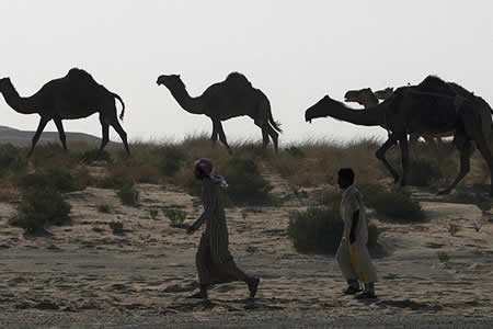 Arabia Saudita expulsa a miles de camellos y ovejas de Catar