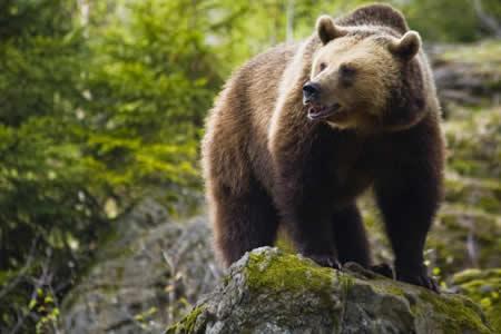 EE.UU. saca al oso grizzly de Yellowstone de lista de especies amenazadas