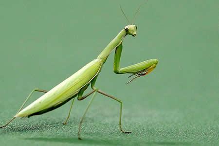 La tenebrosa imagen de una mantis devorando la cabeza de un pájaro inquieta a las redes