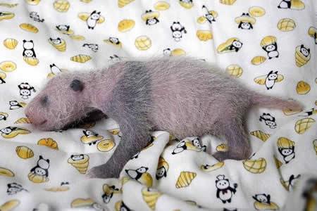 Primer oso panda gigante nacido en 5 años en un zoológico de Tokio es hembra