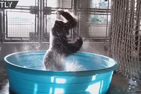 El impresionante y pegajoso baile de un gorila se vuelve viral en la Red