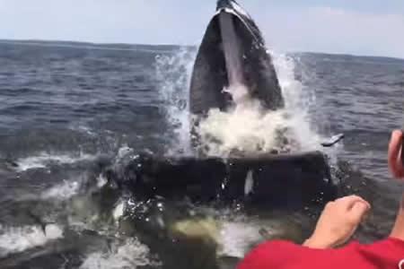 Una ballena sale a la superficie peligrosamente cerca de un barco