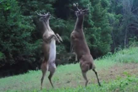 Dos ciervos se enzarzan en una pelea al más puro estilo 'Rocky'