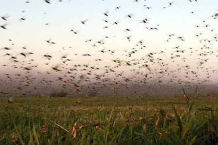 Langostas provenientes de Bolivia alarman en Argentina