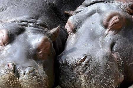 Un centenar de hipopótamos muere en Namibia debido a un brote de carbunco
