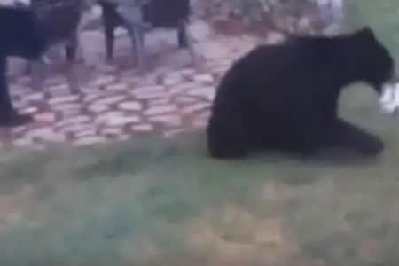 Dos osos se cuelan en un jardín para 'jugar al fútbol'