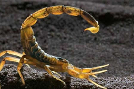 Los escorpiones producen veneno de acuerdo al tipo de presa, según estudio