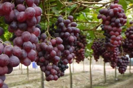 Productores de uva de Tarija denuncian falta de apoyo de las autoridades para la exportación