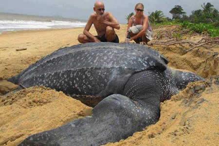 Los científicos, boquiabiertos: Hallan una enorme tortuga de 700 kilos en una playa española