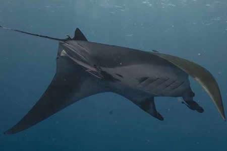 Estudio desvela que tiburones y rayas son más longevos de lo que se pensaba
