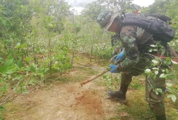 Comando estratégico erradicó hasta la fecha más de 5.600 hectáreas de coca excedente