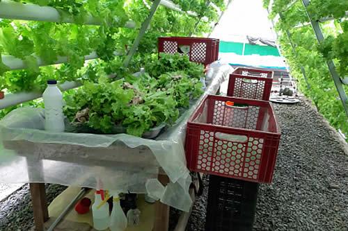 El cultivo hidropónico de lechugas, un emprendimiento familiar que se impuso ante la pandemia