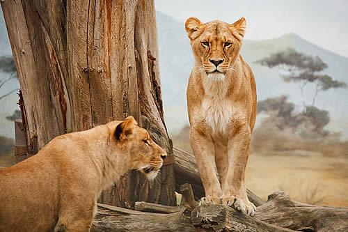 Sin escapatoria: un ñu escapa dos veces de las fauces de los leones, pero no logra evitar su destino