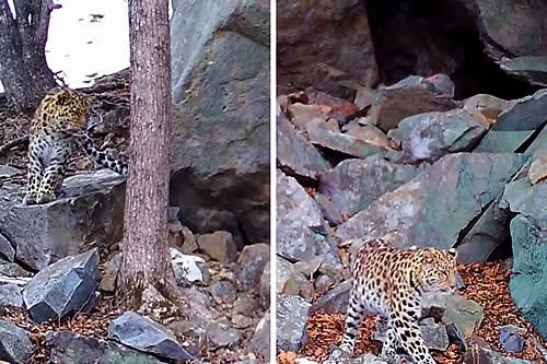 Captan en cámara una cita amorosa de dos leopardos en el Lejano Oriente ruso