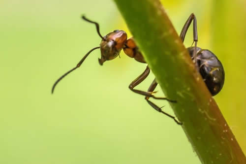 ¡Un metro por segundo! Conoce a la hormiga más rápida del mundo
