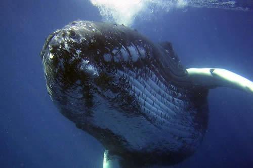 El ritual de caza de las ballenas jorobadas en un hipnotizante
