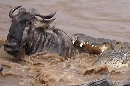 Un ñu juega a la ruleta rusa con un cocodrilo y acaba ganando