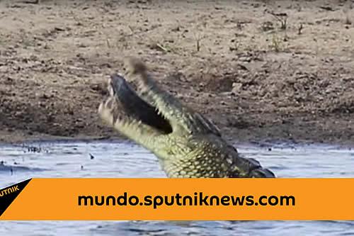 Un hambriento cocodrilo devora a un pez tan grande como su cabeza