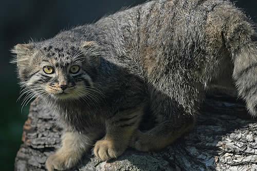 Tres cachorros de gato hallados en Siberia resultan ser ejemplares de manul, un felino salvaje en peligro de extinción