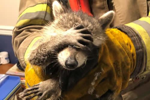 Pillan a un mapache robando comida y 'se avergüenza' al ser rescatado por los bomberos