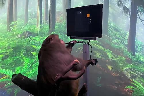 Una empresa de Elon Musk muestra a un mono jugando a un videojuego con la mente mediante un chip cerebral
