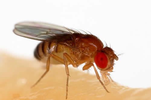 Un experimento con moscas en un 'set' de realidad virtual muestra cómo la visión es responsable del control de las extremidades