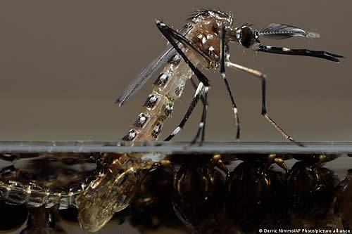 Wolbachia, la bacteria que entrega una luz de esperanza en la lucha contra el dengue