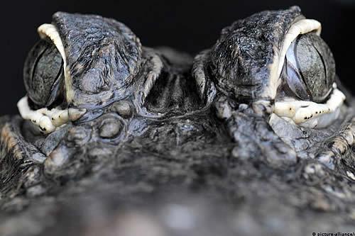 """Hallan en la Patagonia de Chile al """"abuelo"""" de los cocodrilos modernos"""