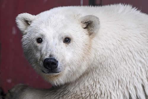 Residentes de República de Sajá en Rusia encuentran un oso polar unos 1.000 kilómetros lejos de su hábitat