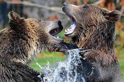 Filman desde tres ángulos una intensa pelea por el territorio entre dos osos pardos de gran tamaño en Finlandia