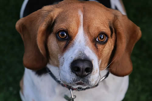 Estas son las razas de perros más sanas